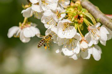 """Jak uratować pszczoły? Akcja """"Odbierz nasiona - ratuj pszczoły""""!"""