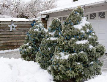 Co zrobić w choinką po świętach, gdzie wyrzucić lub kiedy sadzić choinkę?