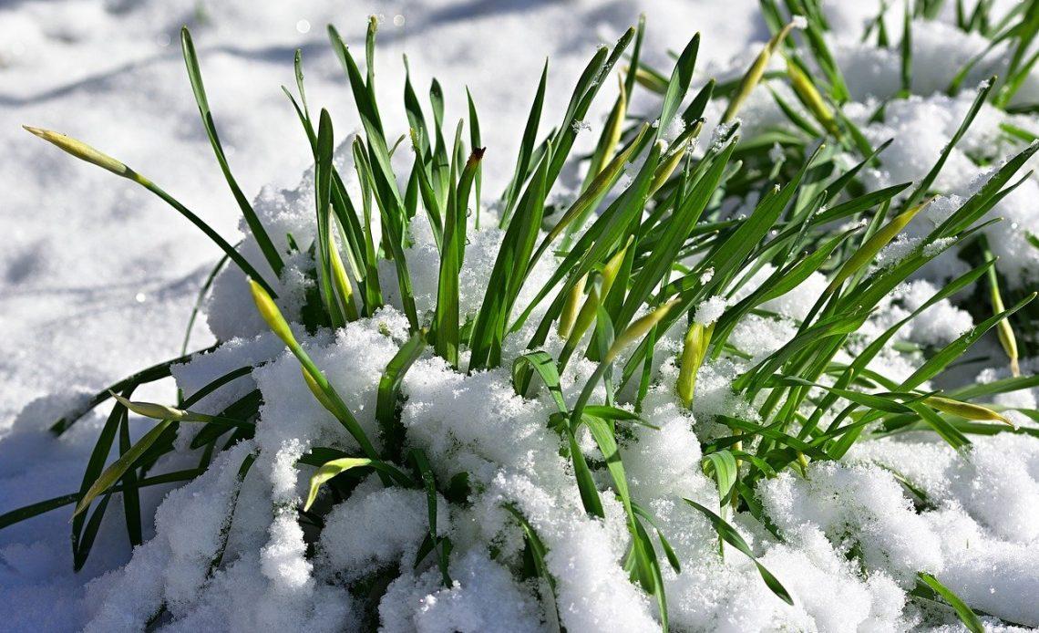 kwiaty przykryte śniegiem