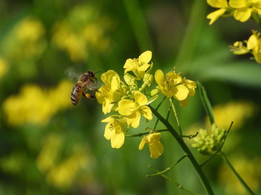 pszczoła na rzepaku