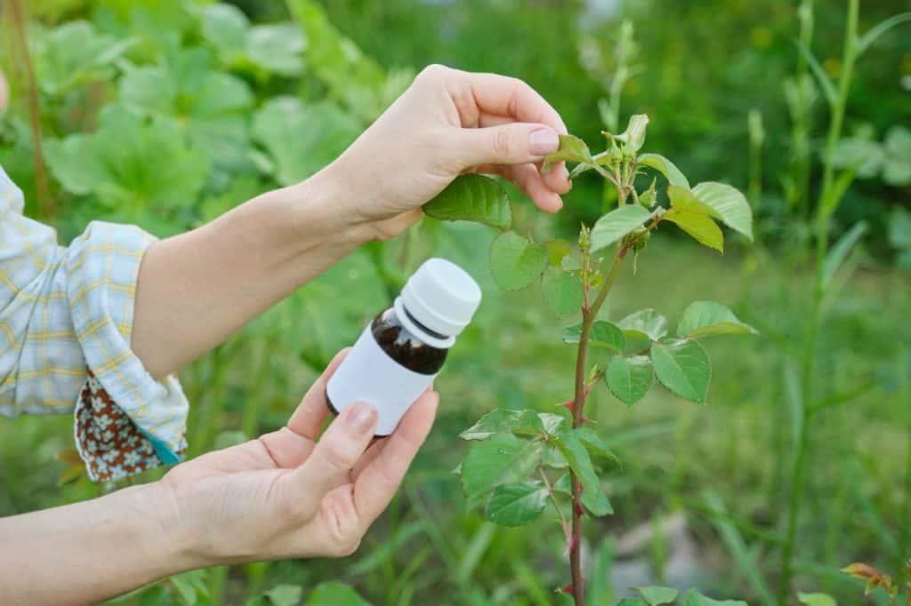 ogrodnik leczy róże