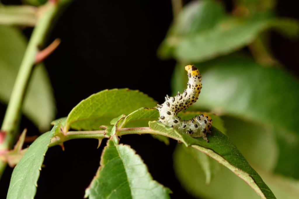 szkodnik ogrodowy na liściu