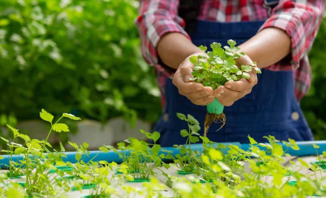 ogrodnik z ziołami