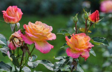 Choroby róż i szkodniki, które mogą je atakować