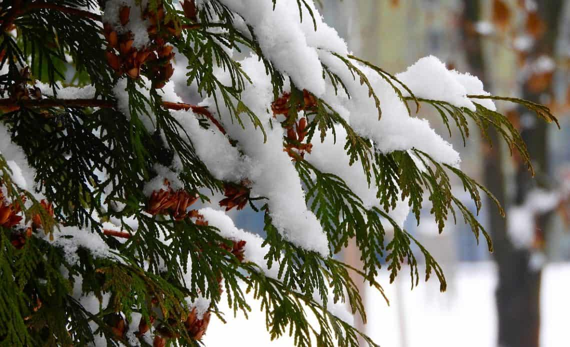 tuje przykryte śniegiem