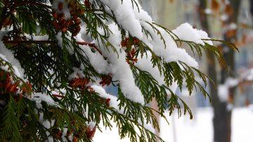 Czy rośliny zimozielone i iglaki należy podlewać zimą?