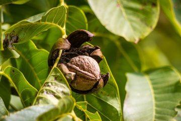 Choroby orzecha włoskiego. Jakie szkodniki i choroby atakują te drzewa?