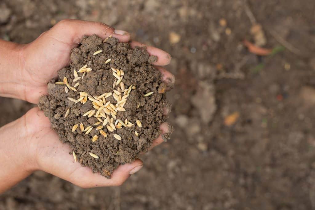 nasiona trawy w ziemi