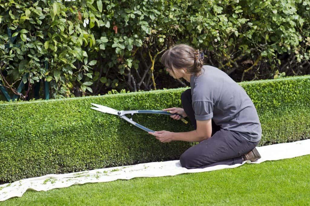 kobieta w ogrodzie przycinająca żywopłot