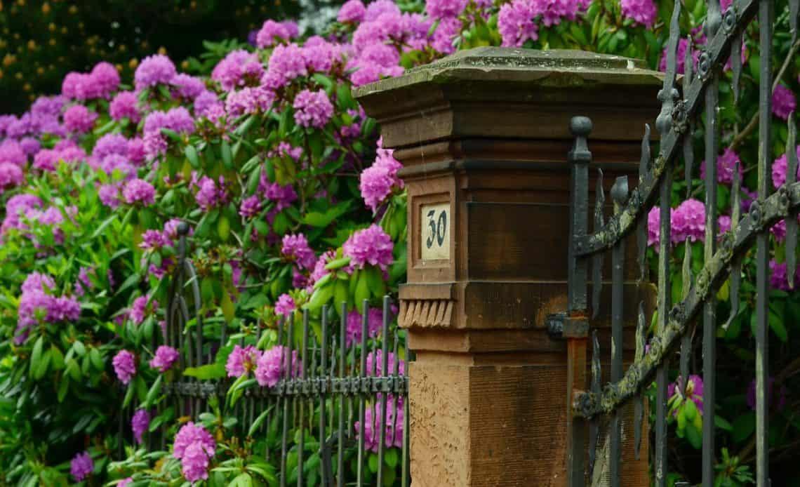 różanecznik w ogrodzie