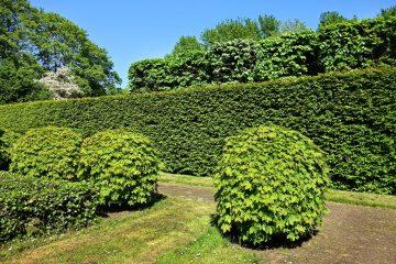 Żywopłot zimozielony. Krzewy najlepsze na żywopłot zielone cały rok i nie tylko
