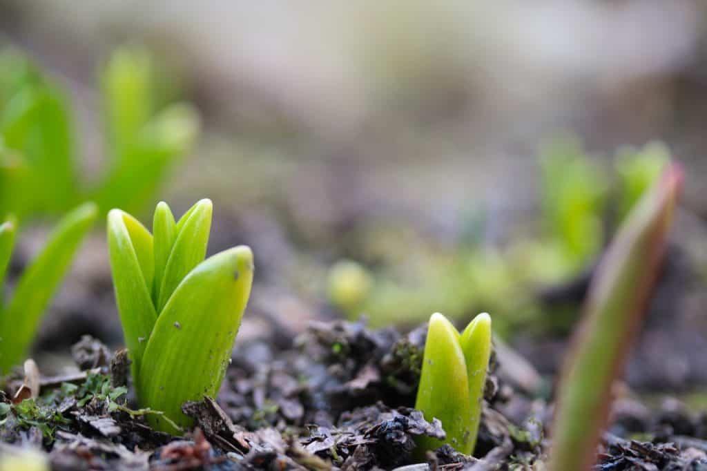 rosnący tulipan