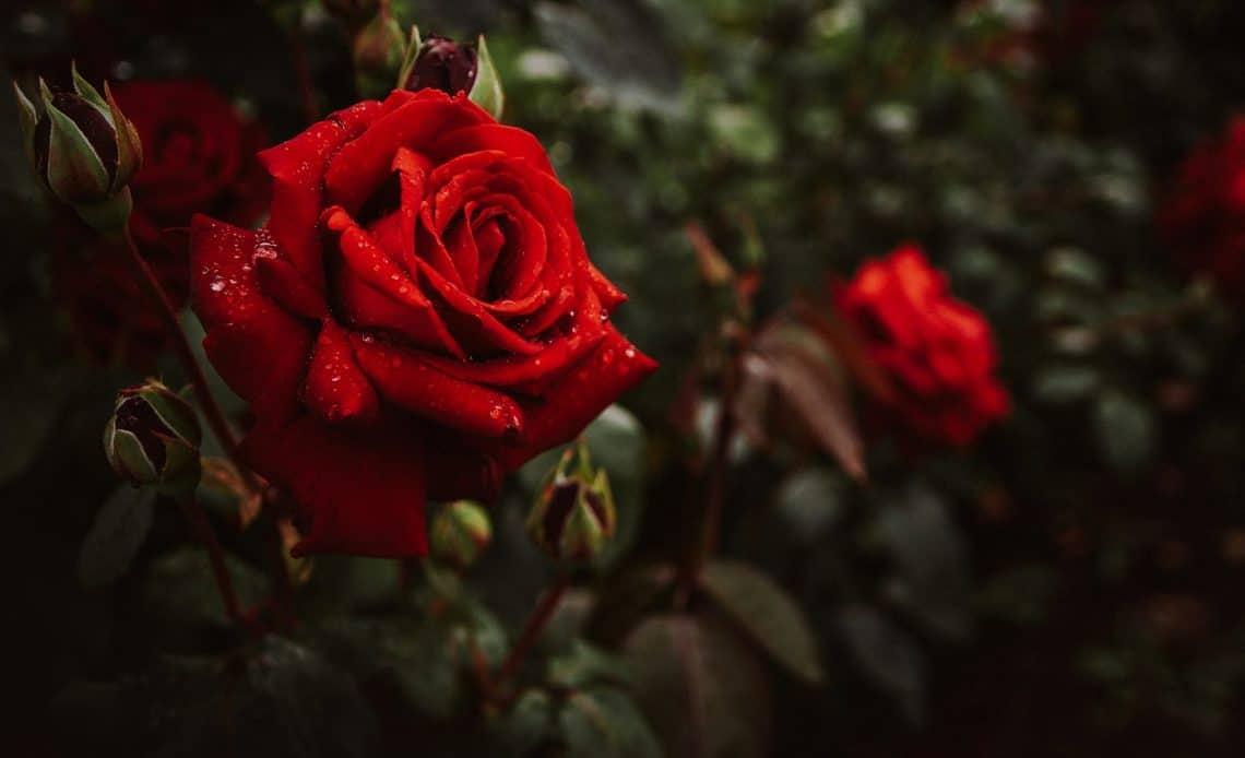 hodowla róż