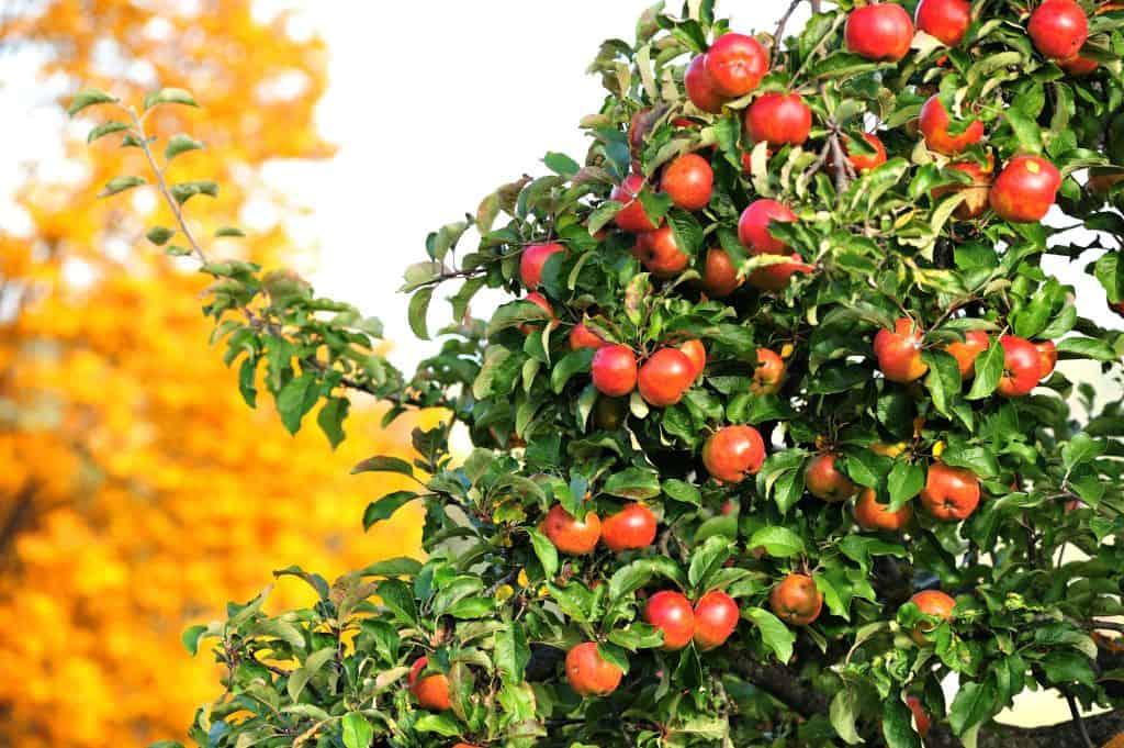 jabłka na drzewie