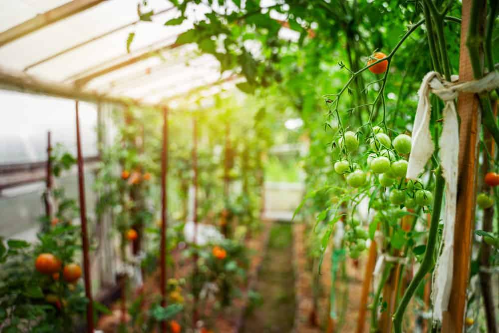 warzywa w szklarmi